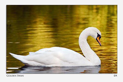 Cisne-dorado